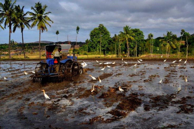 paddy fields in hampi