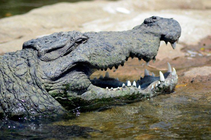 ranganathittu bird sanctuary crocodiles