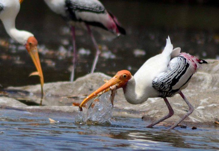 ranganathittu bird sanctuary stork