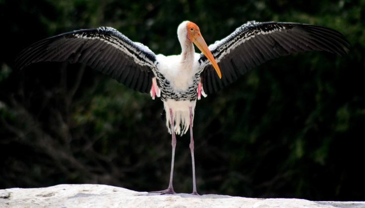 ranganathittu bird sanctuary stork
