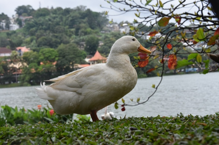 Beside Kandy Lake